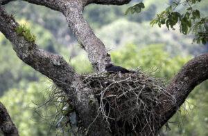 águila harpía en un shihuahuaco